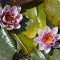 Blumengärten Hirschstetten: Seerosenteich; Wien, 09.06.2013