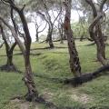 Olivenhain in der Lichnos Bucht bei Parga (Epiros); 31.05.2013